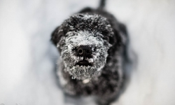 Black Russian Terrier,Rysk Svart Terrier,  Nilo