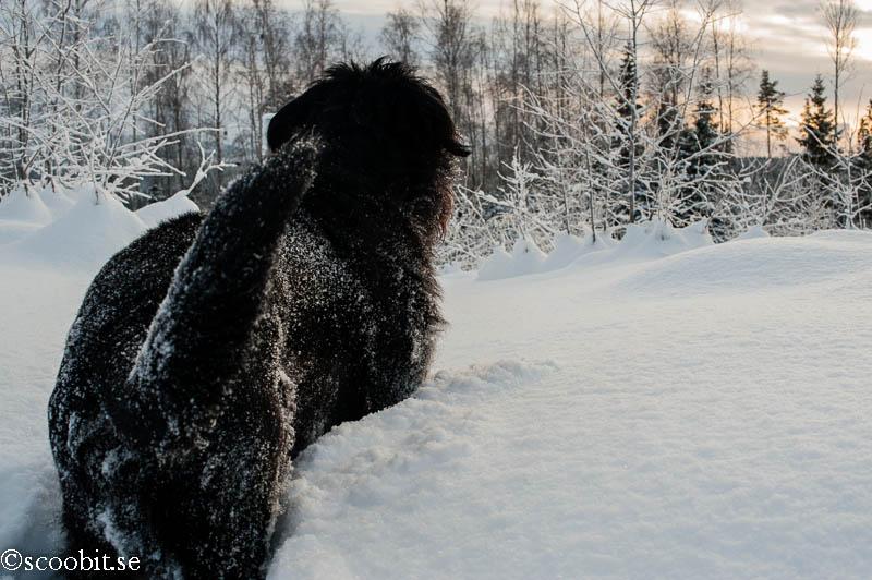 Black Russian Terrier,Rysk Svart Terrier, Renko, Nilo