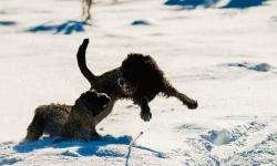 Nilo och Renko, Rysk Svart Terrier