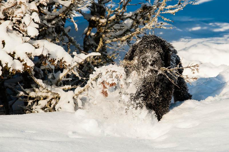 Nilo, Rysk Svart Terrier