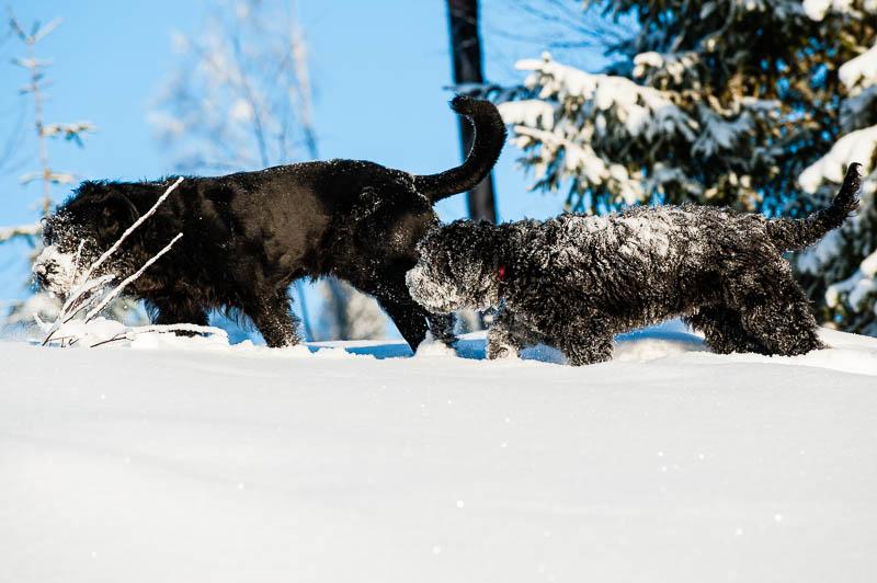 Nilooch Renko , Rysk Svart Terrier
