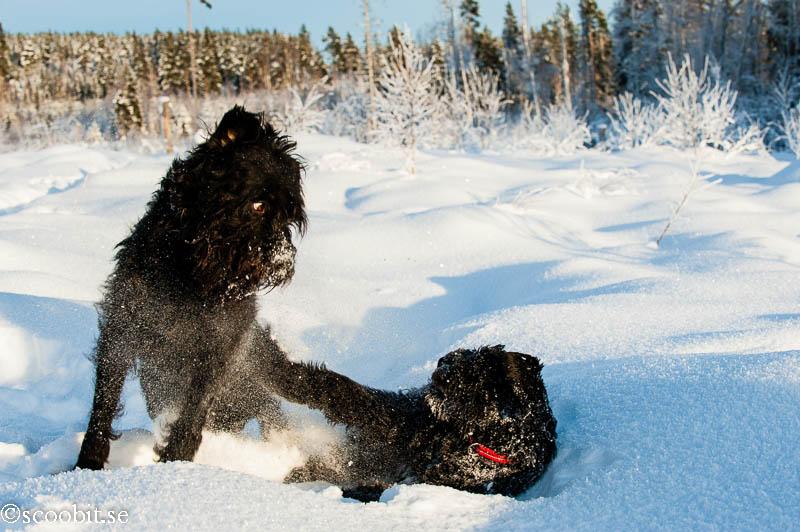 Nilo, Renko, Rysk Svart Terrier