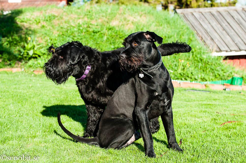 Rysk Svart Terrier