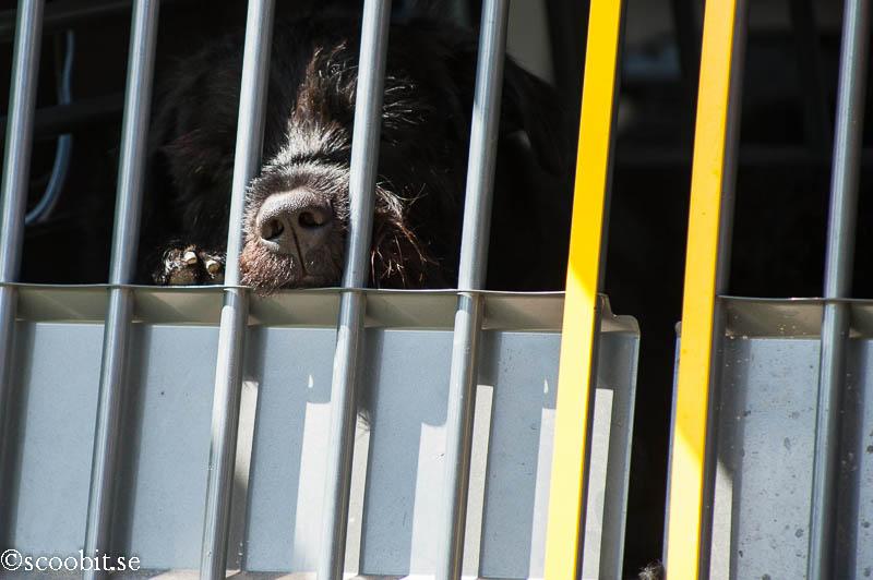 Black Russian Terrier Rysk Svart Terrier  Renko