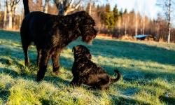 Black Russian Terrier Rysk Svart Terrier  Renko Nilo