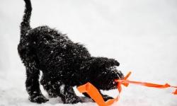 Black Russian Terrier Rysk Svart Terrier  Nilo